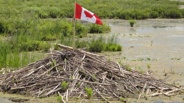 beaver dam with a Canadian flag