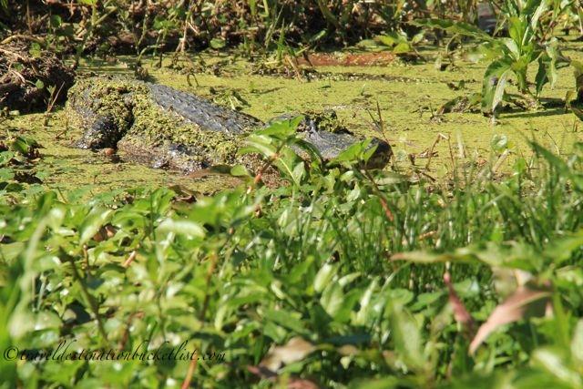 wildlife tours in the Bayous of Louisiana