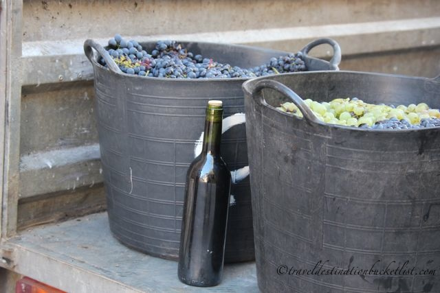 Grape Harvest in Spain