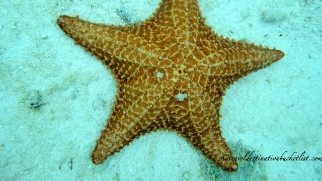 things you see snorkelling in Antigua - beautiful starfish