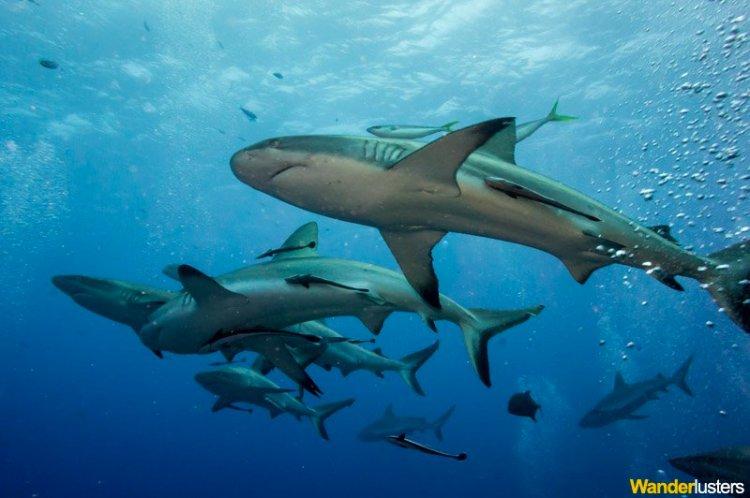 shar-feed-dive-osprey-reef-6